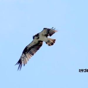 9/23探鳥記録写真-2(遠賀川河口堰の鳥たち:ミサゴのホバリングほか)
