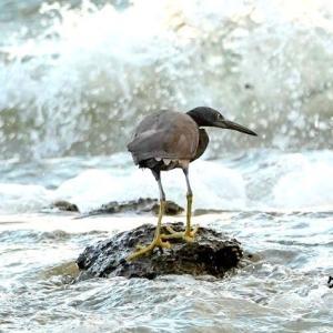 9/24探鳥記録写真-2(狩尾岬の鳥たち:クロサギ、ミサゴ、イソヒヨドリほか)