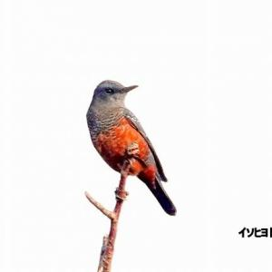 9/25探鳥記録写真-2(はまゆう公園の鳥たち:ヤマガラ、イソヒヨドリ、キジバト)