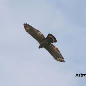 9/25探鳥記録写真(若松区:高塔山で見れたハチクマー2)