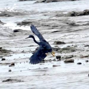 9/26探鳥記録写真-2(狩尾岬の鳥たち:クロサギ、イソヒヨドリ、シジュウカラほかほか)