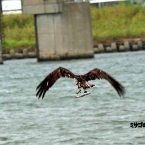 9/27探鳥記録写真(遠賀川河口堰の鳥たち:ミサゴの狩り、コサギほか)