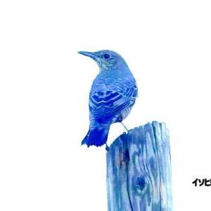 9/27探鳥記録写真-2(狩尾岬の鳥たち:イソヒヨドリづくし)