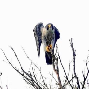 9/28探鳥記録写真-2(9月中旬に出会った鳥たち:ハヤブサ、ミサゴ、クロサギ、イソヒヨドリほか)