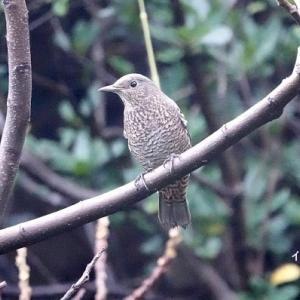 9/29探鳥記録写真(狩尾岬の鳥たち:イソヒヨドリ、クロサギほか)