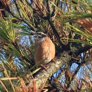 9/29探鳥記録写真-2(はまゆう公園の鳥たち:ホオジロ、イソヒヨドリ、ヤマガラ)