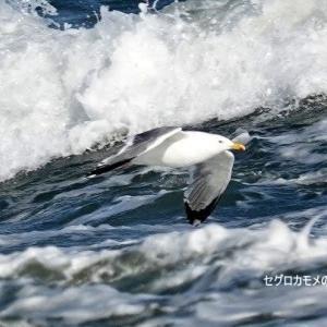 9/30探鳥記録写真-2(狩尾岬の鳥たち:セグロカモメの飛翔)