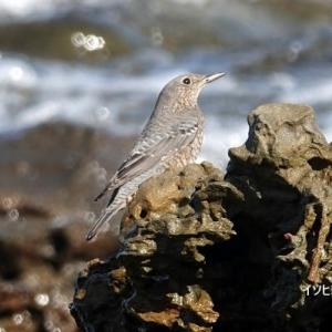10/01探鳥記録写真(狩尾岬の鳥たち:イソヒヨドリ、クロサギ)