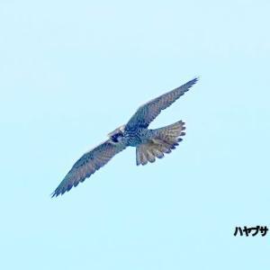 10/01探鳥記録写真-2(芦屋町:魚見公園の鳥たち:エゾビタキ、ハヤブサ)