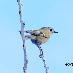 10/19探鳥記録写真-2(はまゆう公園の鳥たち:キクイタダキ、ジョウビタキ、ヤマガラ、ホオジロ、ほか)