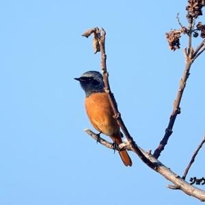 10/22探鳥記録写真-2(はまゆう公園の鳥たち:ジョウビタキ♂&♀、ホオジロ、メジロほか)