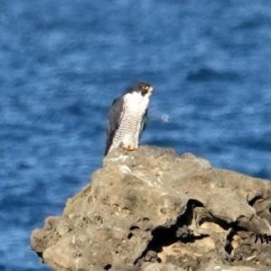 10/22探鳥記録写真-3(狩尾岬の鳥たち:ハヤブサ、クロサギ、ジョウビタキ♂&♀ほか)