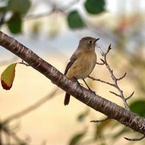 10/24探鳥記録写真(はまゆう公園の鳥たち:ジョウビタキ♂&♀、アトリ、ガビチョウ、ホオジロ、メジロほか)