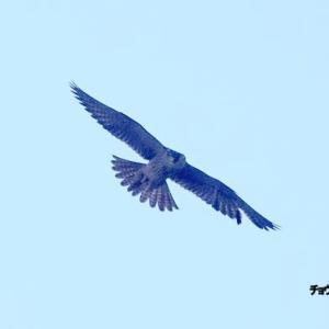 10/25探鳥記録写真-2(チョウゲンボウの舞)