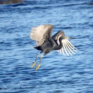 10/28探鳥記録写真-2(狩尾岬の鳥たち:ハヤブサ、クロサギ、ジョウビタキ♂&♀、イソヒヨドリ、ほか)