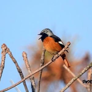 10/30探鳥記録写真-2(はまゆう公園の鳥たち:ジョウビタキ♂、モズ、ホオジロ、カワラヒワほか)
