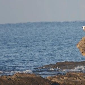 10/30探鳥記録写真(狩尾岬の鳥たち:ハヤブサ、ミサゴ、クロサギ、ジョウビタキ♀、イソヒヨドリ、)