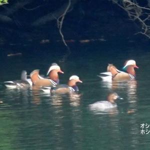 11/23探鳥記録写真-3(某池のカモたち:オシドリ、マガモ、ホシハジロ)