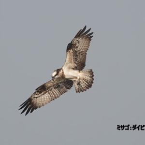 11/24探鳥記録写真(響灘ビオトープの鳥たち-1:ミサゴのホバリング、チュウヒの飛翔、シロガシラ、)