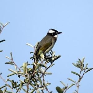 11/24探鳥記録写真-2(響灘ビオトープの鳥たち-2:チュウヒの飛翔、シロガシラ、)