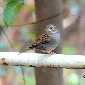 12/01探鳥記録写真(響灘緑地の鳥たち:クロジ♀、ジョウビタキ♂&♀、オシドリほか)