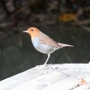 12/01探鳥記録写真-2(11月中旬に出会った鳥たち:コマドリ、ミヤマホオジロ、カシラダカ、ジョウビタキ♂&♀、ビンズイほか)