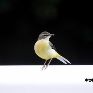 12/02探鳥記録写真-2(響灘緑地の鳥たち:、ジョウビタキ♂、キセキレイ、ツグミ、オシドリほか)