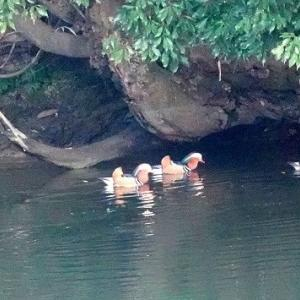 12/05探鳥記録写真-2(響灘緑地の鳥たち:オシドリ、ジョウビタキ♂、エナガほか)