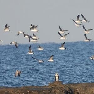 12/05探鳥記録写真-3(狩尾岬の鳥たち:クロサギ、ミサゴ、ウミネコの乱舞ほか)