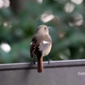 1/17探鳥記録写真-2(響灘緑地の鳥たち:ジョウビタキ♂&♀、ハジロカイツブリ、カンムリカイツブリほか)