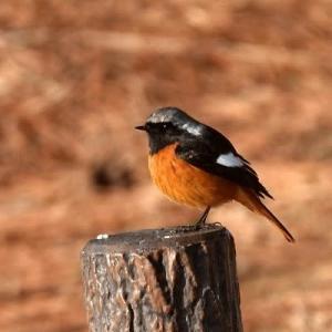 1/18探鳥記録写真-2(はまゆう公園の鳥たち:ジョウビタキ♂、シロハラ、ホオジロほか)