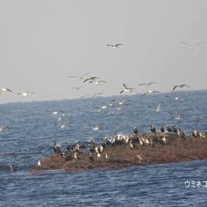 1/18探鳥記録写真(狩尾岬の鳥たち:クロサギ、ミサゴの飛翔、ウミネコの乱舞ほか)