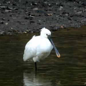 1/25探鳥記録写真-2(某池のヘラサギ、)