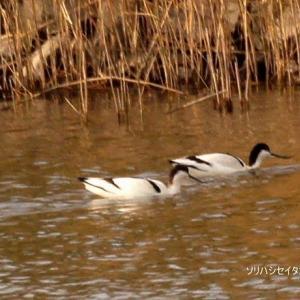 1/26探鳥記録写真-2(思い出のシギ・チドリ類-4:ソリハシセイタカシギ、コシャクシギ、タシギ、セイタカシギ、ミヤコドリ、ツバメチドリ)