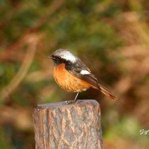 1/28探鳥記録写真-2(はまゆう公園の鳥たち:ジョウビタキ♂、ホオジロ、アオジ、シロハラ)