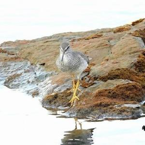 6/03探鳥記録写真(狩尾岬の鳥たち:キアシシギ、カルガモ、クロサギ)