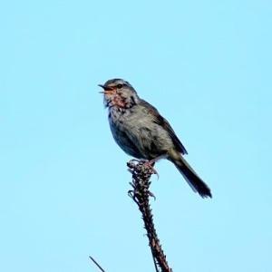 6/03探鳥記録写真-2(はまゆう公園の鳥たち:ウグイス、ホオジロ、)