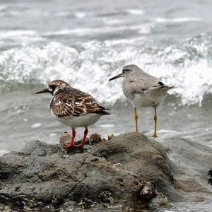 6/04探鳥記録写真-2(5月下旬に出会った鳥たち:セイタカシギ、キョウジョシギ、キアシシギ、クロサギ、ハヤブサ、ミサゴ、ウグイス、ホオジロほか)
