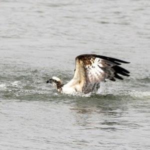 6/04探鳥記録写真:遠賀川河口堰の鳥たち(ミサゴの狩、コブハクチョウの親子、キアシシギ、チュウダイサギ、)