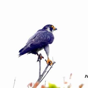 6/05探鳥記録写真(狩尾岬の鳥たち:ハヤブサ三昧)