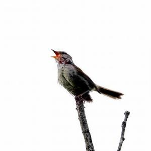 6/05探鳥記録写真-2(はまゆう公園の鳥たち:ウグイス、ホオジロ、カワラヒワ、)
