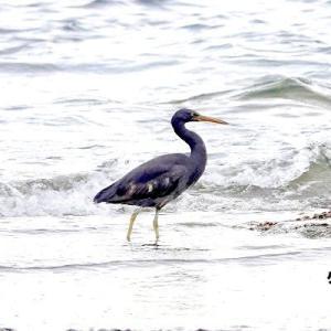 6/07探鳥記録写真(狩尾岬の鳥たち:クロサギ、ホオジロ)