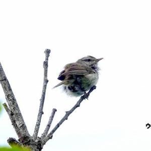6/08探鳥記録写真(はまゆう公園の鳥たち:ウグイス、ホオジロ、カワラヒワ、ムクドリ、紫陽花)