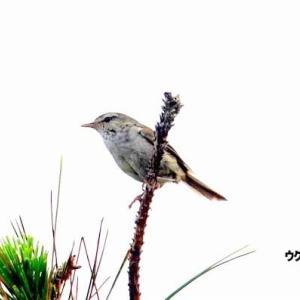 6/09探鳥記録写真(はまゆう公園の鳥たち:ウグイス、ホオジロ、カワラヒワ、ムクドリ、紫陽花)