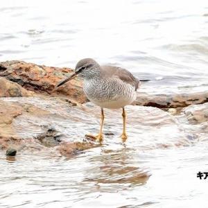 6/09探鳥記録写真-2(狩尾岬の鳥たち:キアシシギ、クロサギ、)