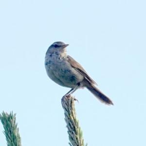 6/10探鳥記録写真(はまゆう公園の鳥たち:ウグイス、ホオジロ、カワラヒワ、ムクドリ、)