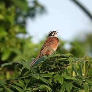 6/11探鳥記録写真-2(はまゆう公園の鳥たち:ウグイス、ホオジロ、カワラヒワ、ムクドリ、)