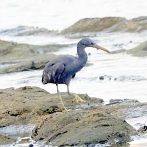 6/11探鳥記録写真(狩尾岬の鳥たち:カルガモとクロサギ、)