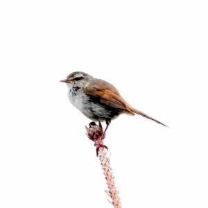 6/12探鳥記録写真-2(はまゆう公園の鳥たち:ウグイス、ホオジロ、カワラヒワ、ムクドリ、)