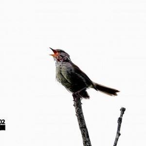 6/14探鳥記録写真(6月上旬に出会った鳥たち:キアシシギ、クロサギ、ハヤブサ、ミサゴ、ウグイス、ホオジロほか)